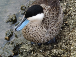 SLIMBRIDGE WWT (267)