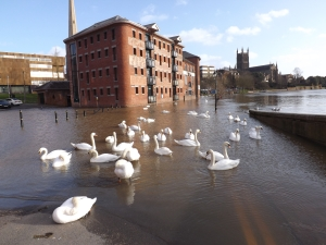A rather large bevy of Swans.......