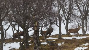 Wild Stags in the Cairngorm mountains.