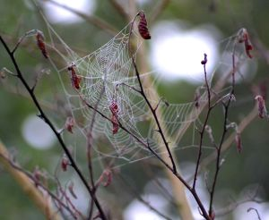 Although I hate spiders, i have to marvel at the intricacy of the details within their webs. I spotted a few on my walk one morning last week after we had a fog and dew.