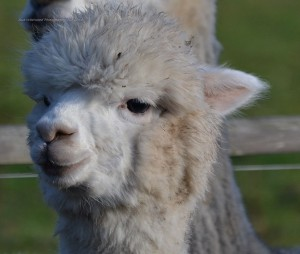 alpacas-117
