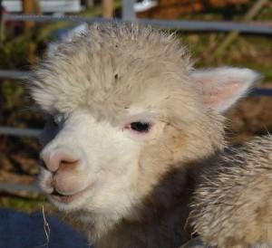 alpacas-12