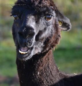alpacas-209