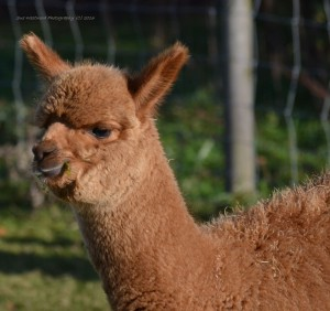 alpacas-214