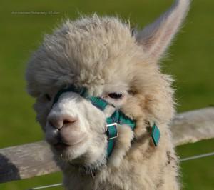 alpacas-281