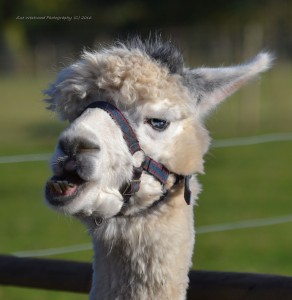 alpacas-315