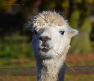 alpacas-4